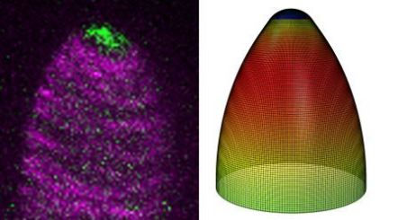 (Left) 2 color live cell imaging of the ARP2/3 complex (green) and microtubules (magenta) in a growing trichome branch undergoing tip refinment. (Right) Graphic of the growth distribution of the simulated cell using finite element modeling. Photo Credit: Dan Szymanski, Purdue University, Joe Turner, University of Nebraska-Lincoln