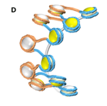 A 3D model of DNA wrapped around nucleosomes