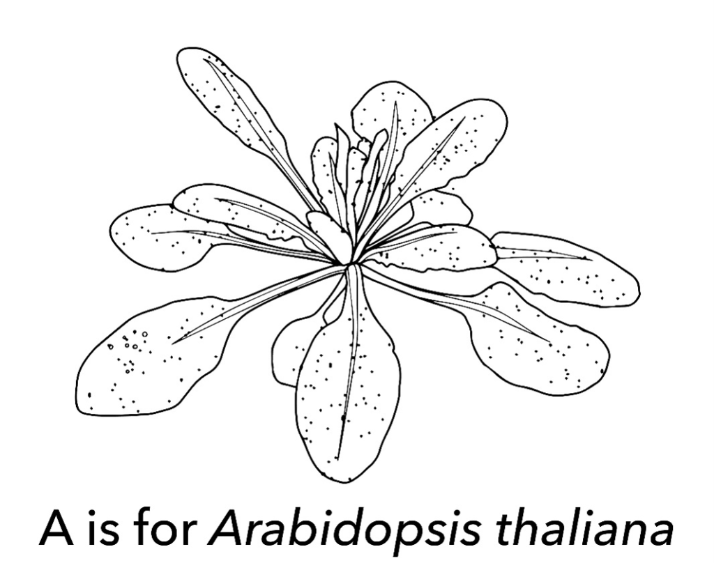 "Image for coloring, titled ""A is for Arabidopsis thaliana"""